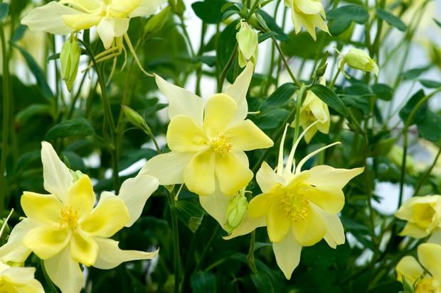 Lemon yellow blooms of aquilegia 'Texas Yellow'