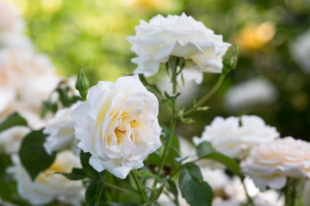 Rosa 'York Minster' flowers