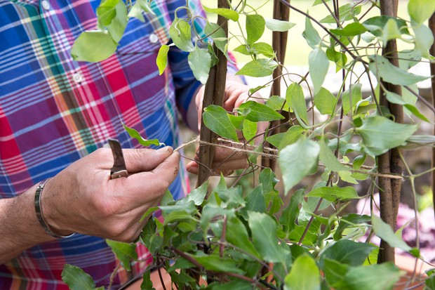 Tying twine between canes to provide support for a clematis