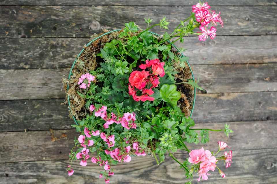 Nemesia, diascia and pelargonium hanging basket
