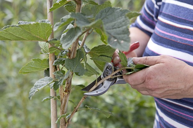 Growing redcurrants - pruning back sideshoots