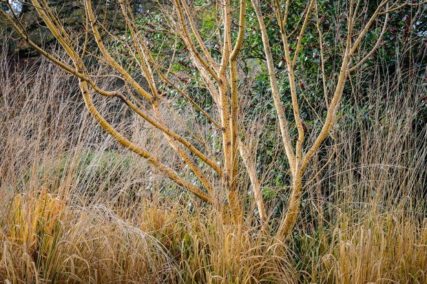 Golden acer branches underplanted with linear golden grasses