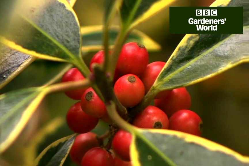 How to grow holly