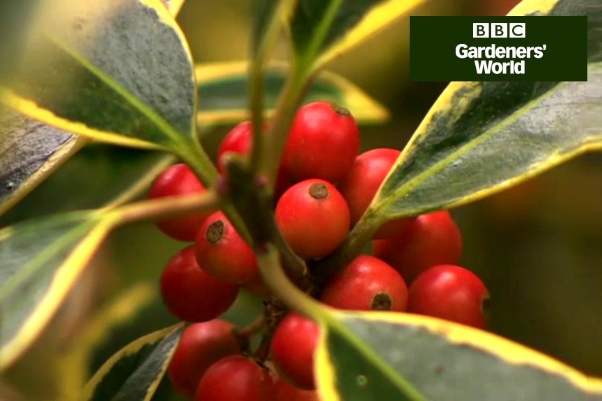 How to grow holly video