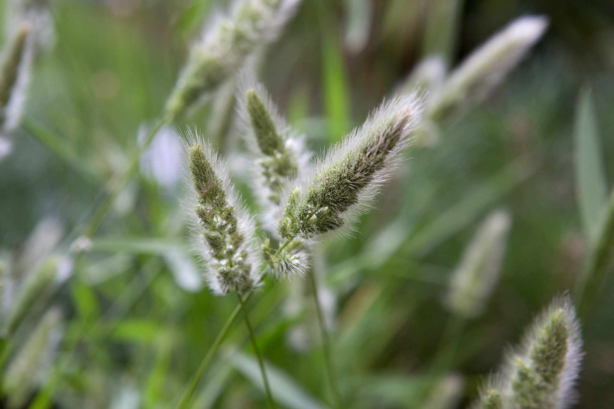 How to cut back ornamental grasses in spring
