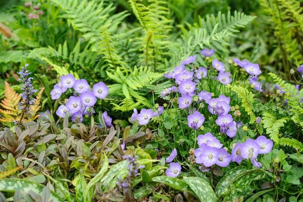 Pale blue campanula flowers beside lush green ferns