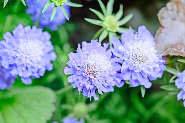 scabious-flower-3