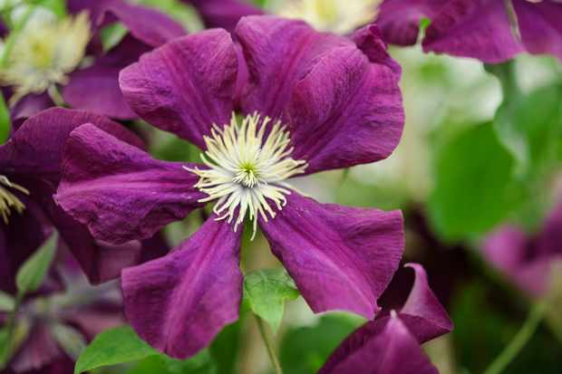 clematis-etoile-violette-4