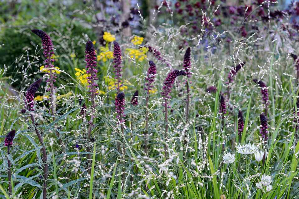 Lysimachia flowers and melica grass in mixed garden border