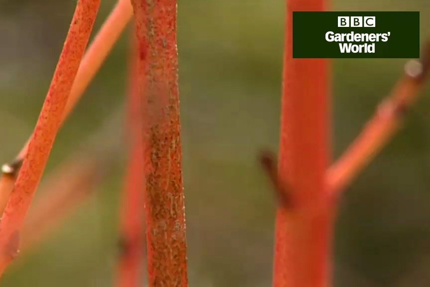 How to prune and propagate dogwoods video