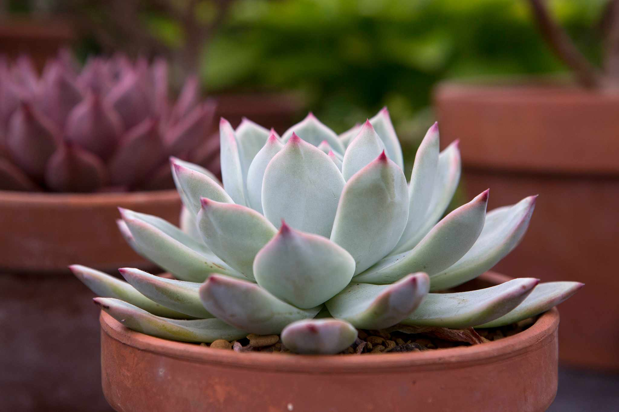 Best Echeverias to Grow