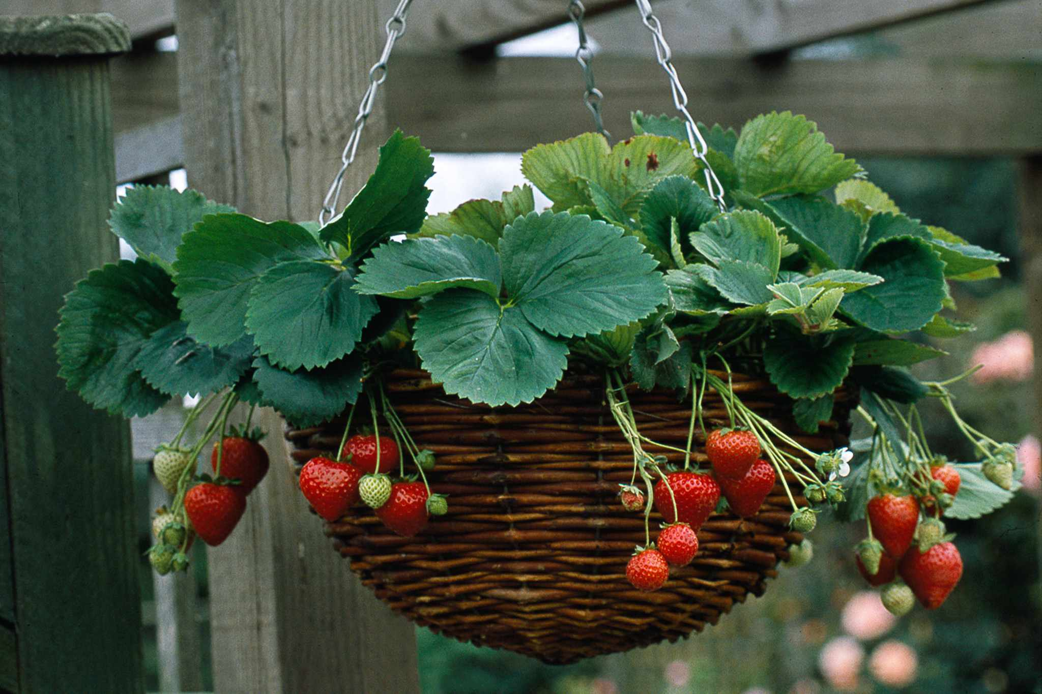 Strawberry hanging basket