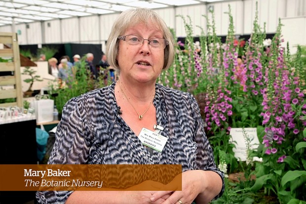 Caring for foxgloves Golden Rules