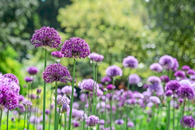 alliums-growing-together