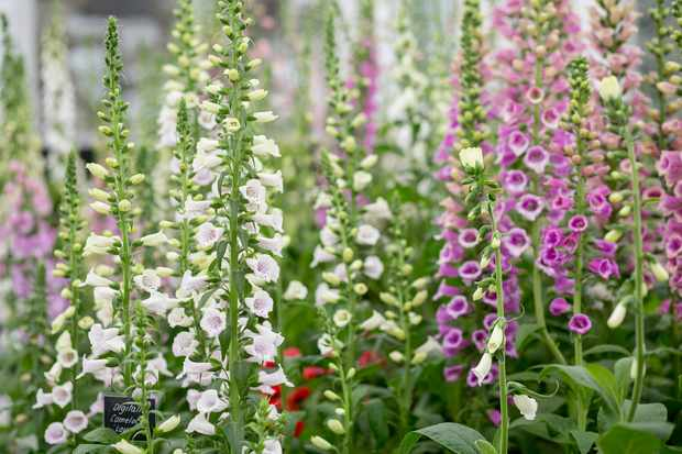 How to sow foxglove seeds