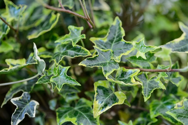 Climbers for wildlife - ivy