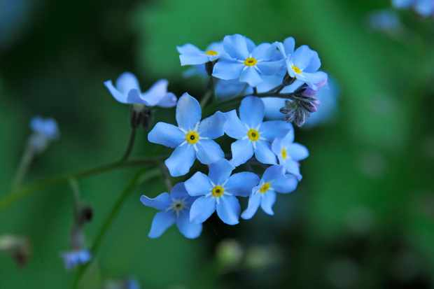 forget-me-nots-7