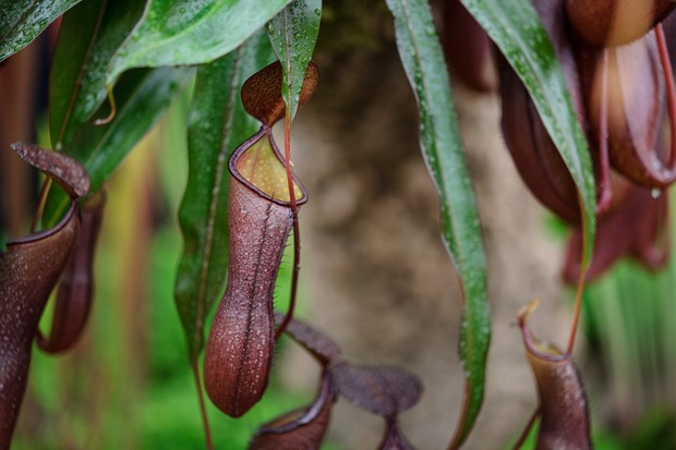 Bronze insect-catching pitchers of carnivorous nepenthes