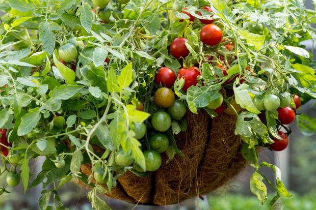 tomato-losetto-2
