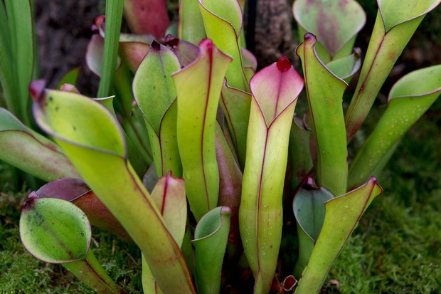 heliamphora-purpurescens-2