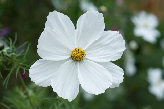 A white cosmos bloom
