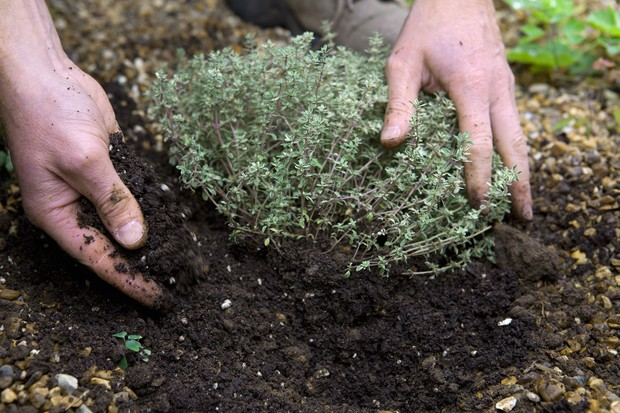 Plant thyme with plenty of drainage