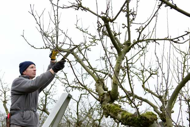 Winter pruning an apple tree