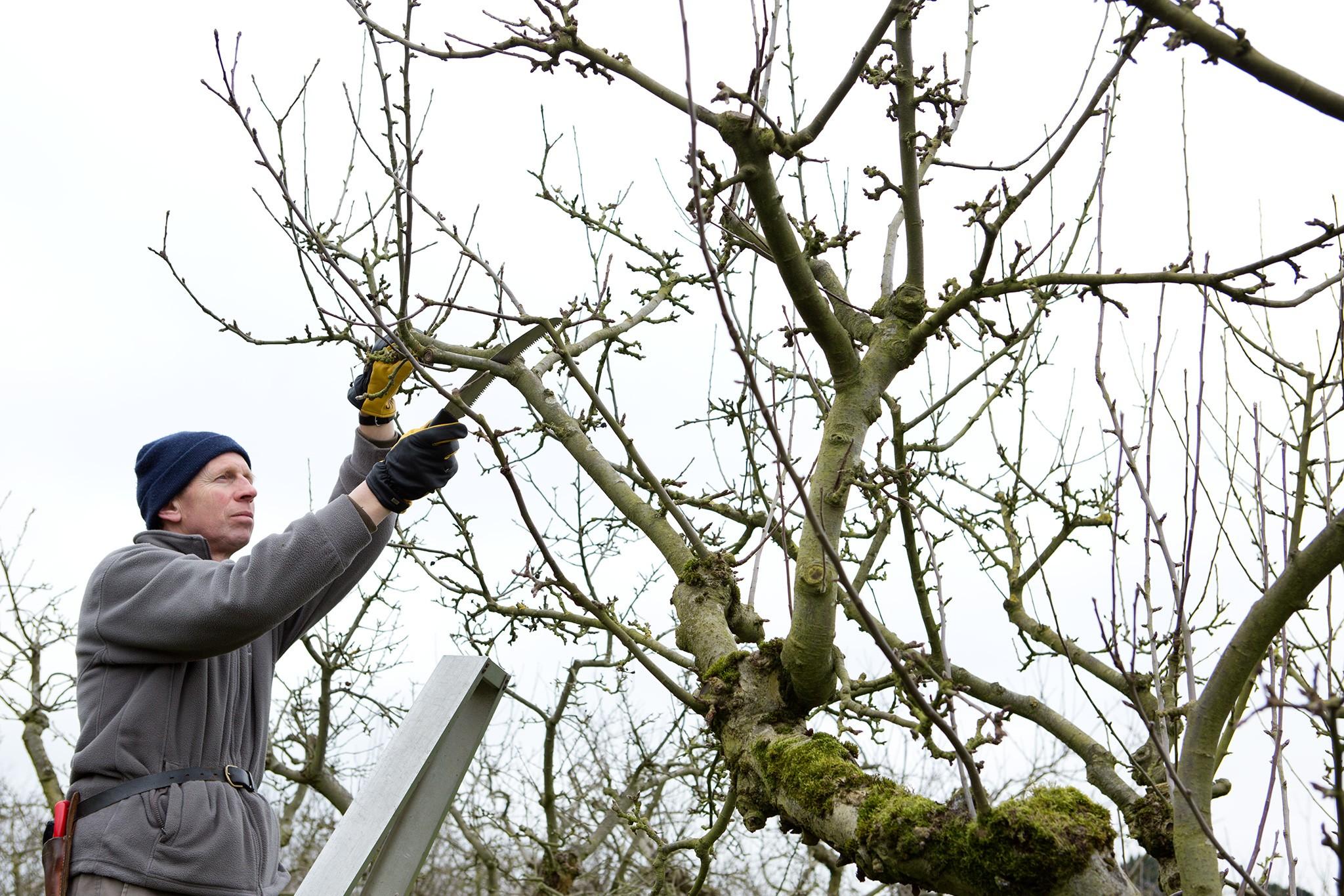 Winter pruning an apple tree