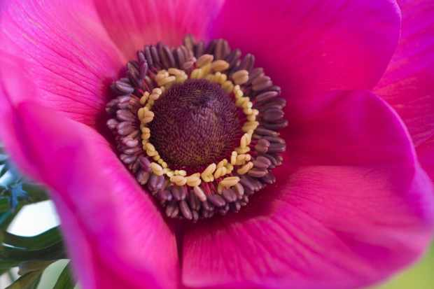 How to force anemone corms