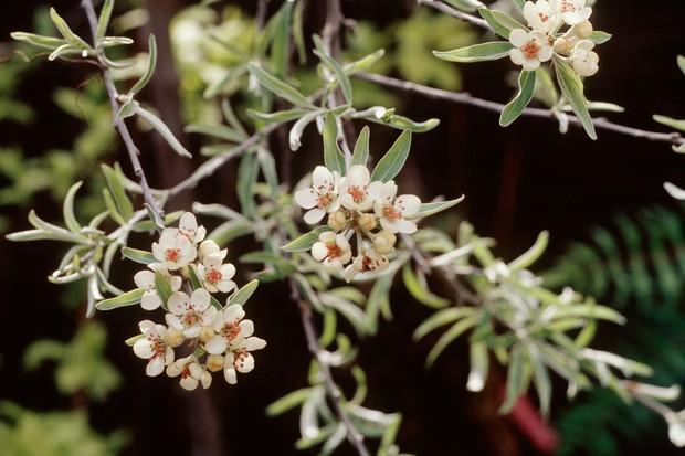 pyrus-salicifolia-pendula-2