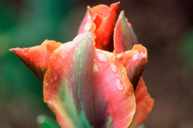 orange-green-tulip-artist-3