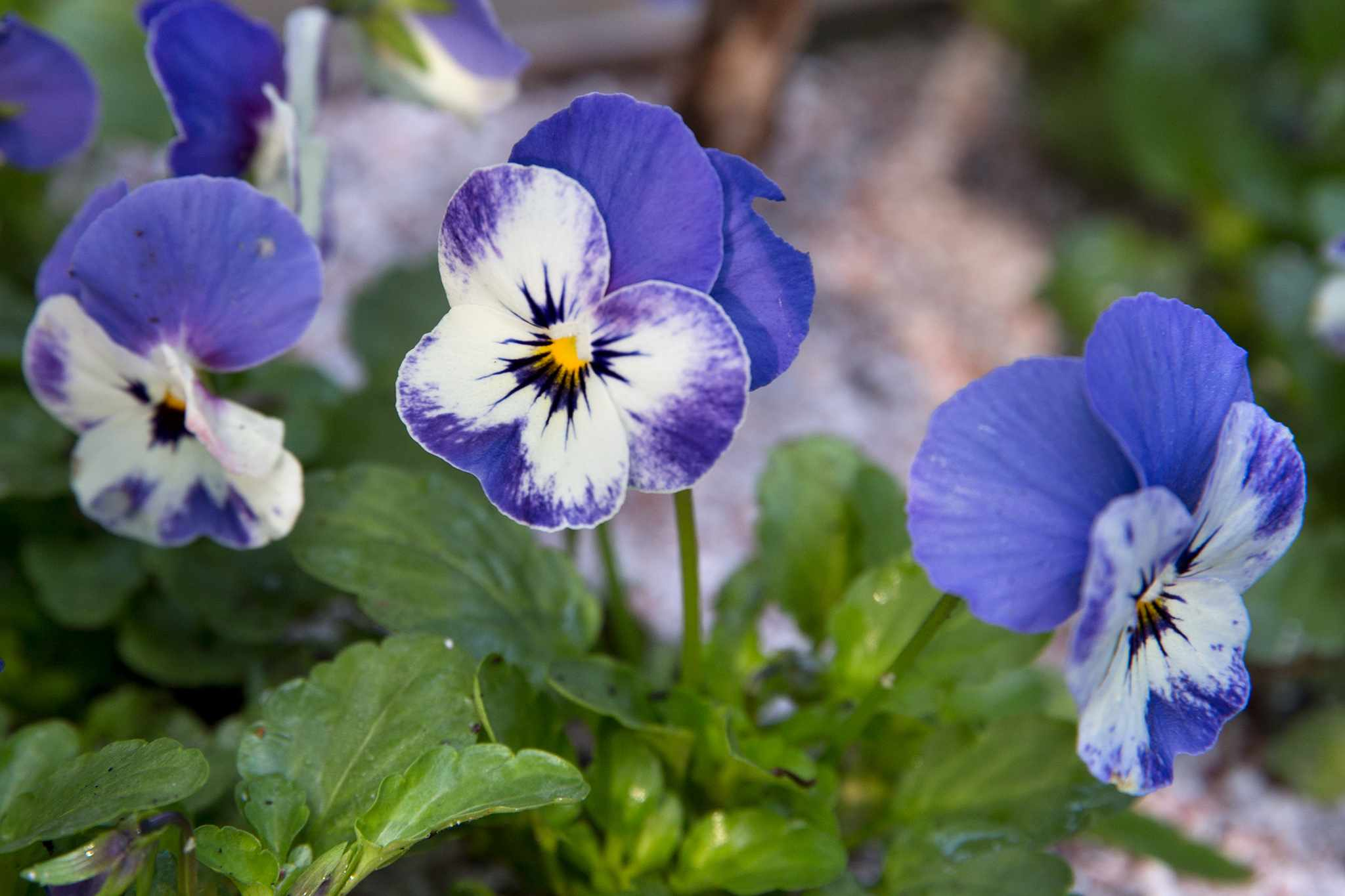 Blue and white flowers of Viola 'Delft Blue'