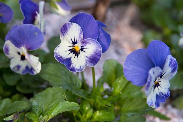 viola-delft-blue-3