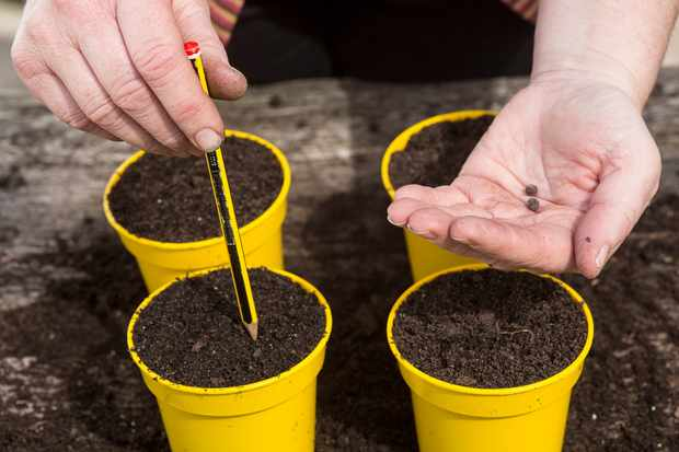 sowing-sweet-peas-in-pots-2