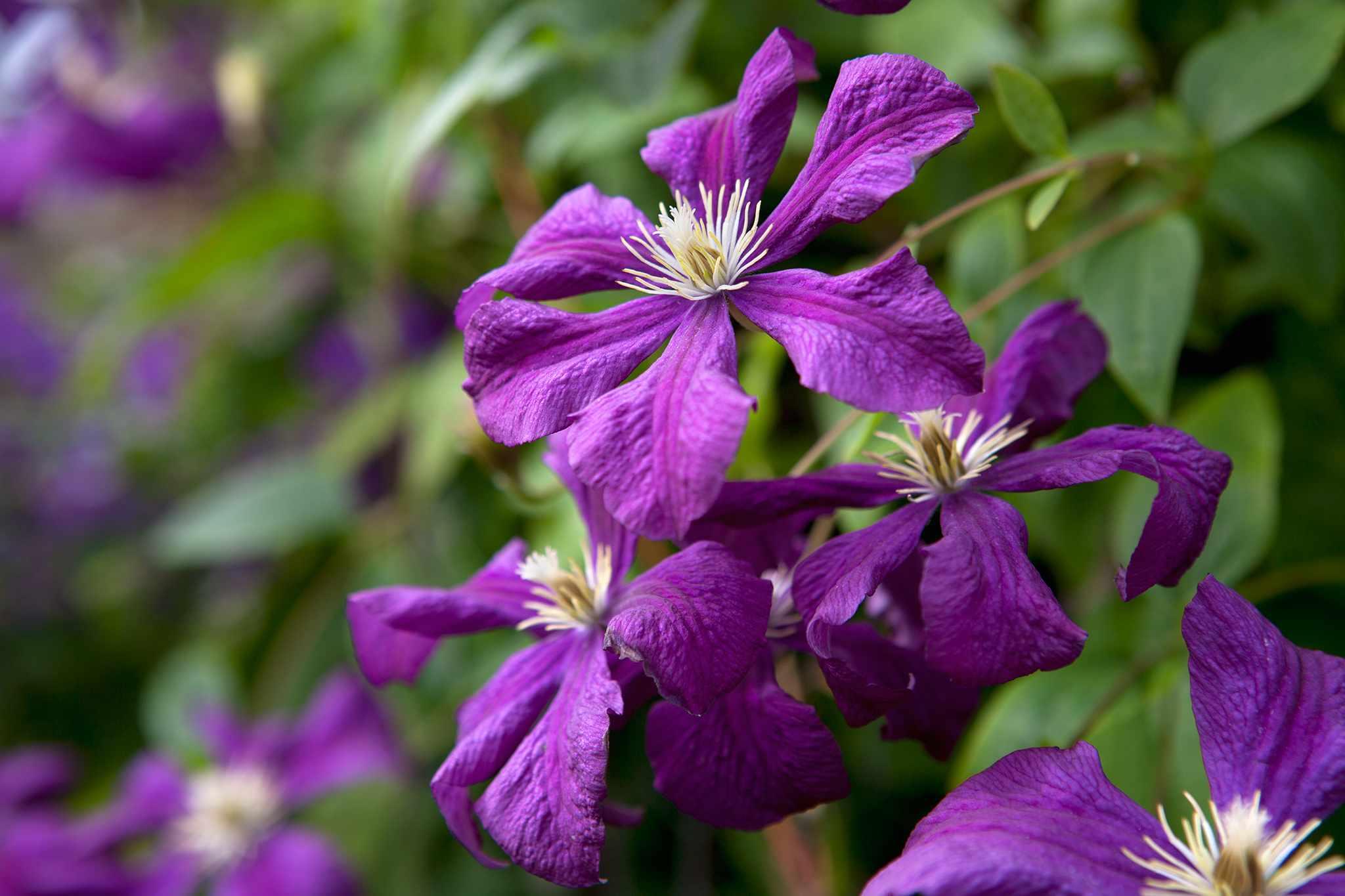 Clematis viticella Etoile Violette