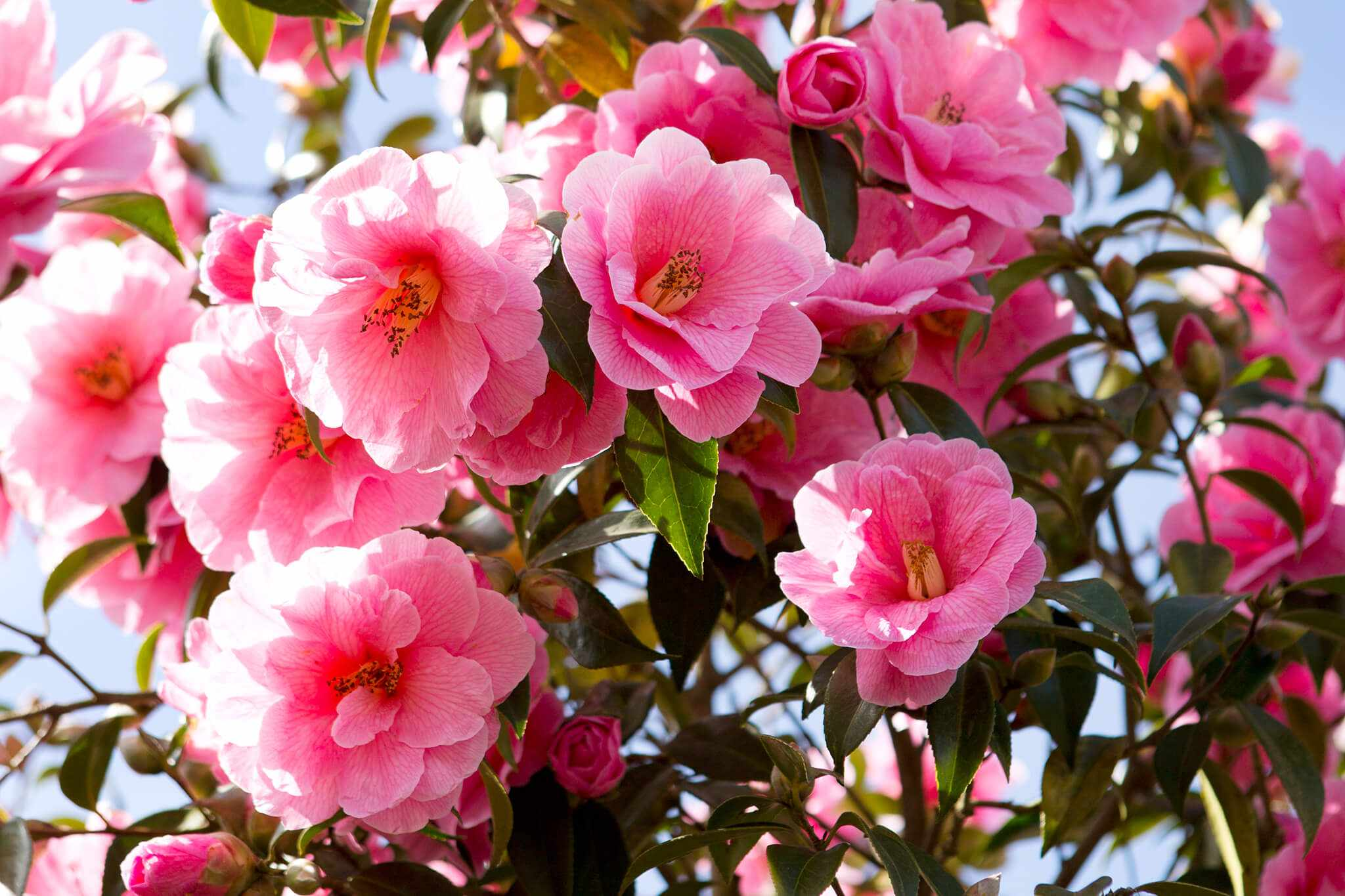 Quick Tips Why are my camellias sticky