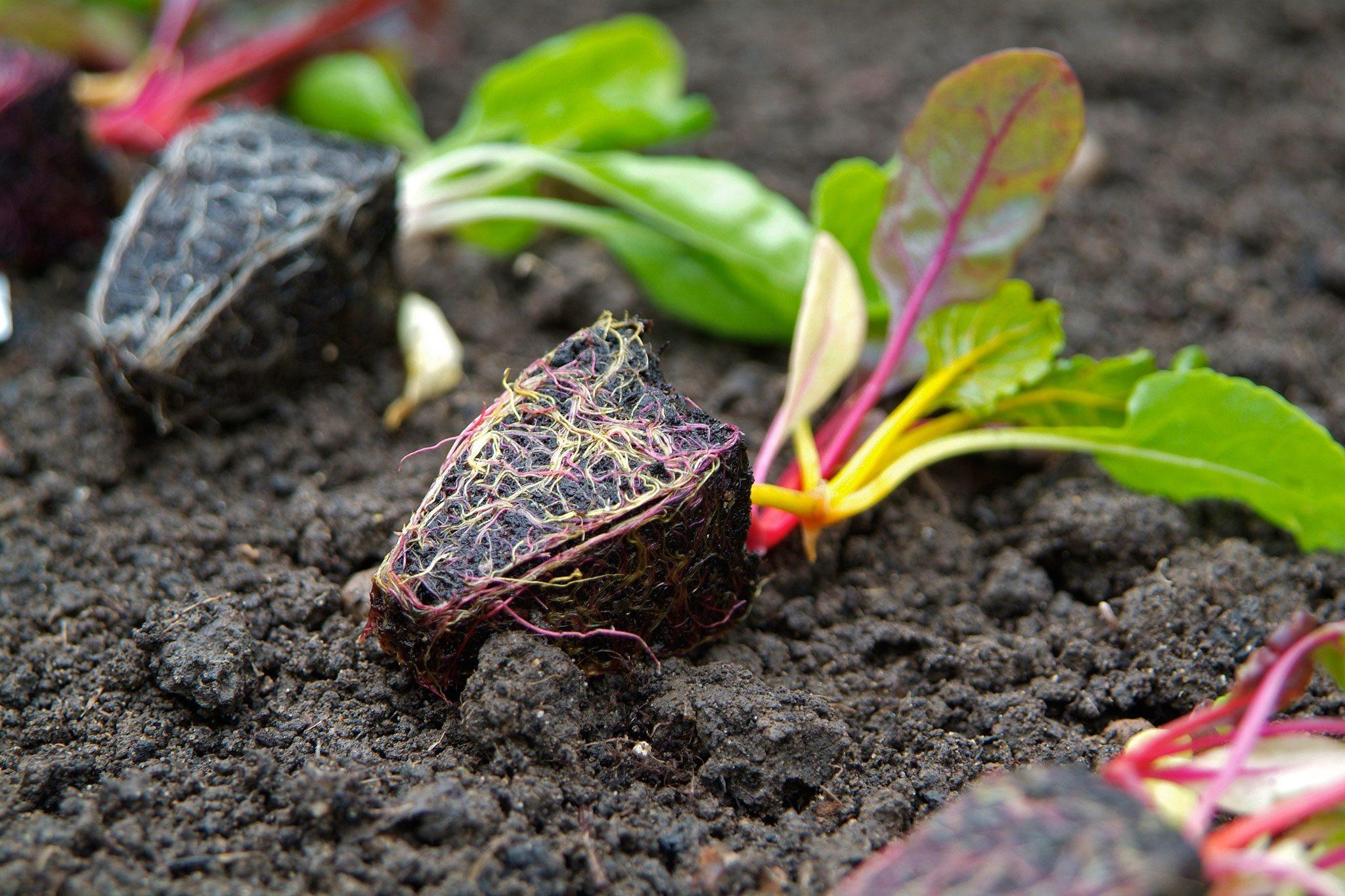 Beetroot plug plants x 10