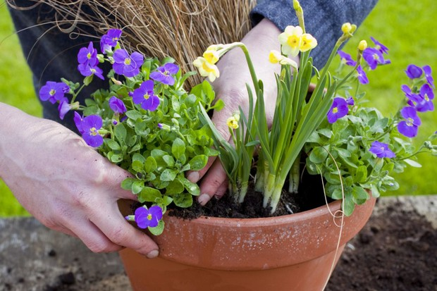 Planting the aubretia around the edge