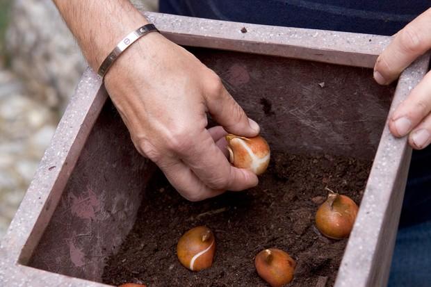 Cyclamen, heather and bulb pot display - planting bulbs