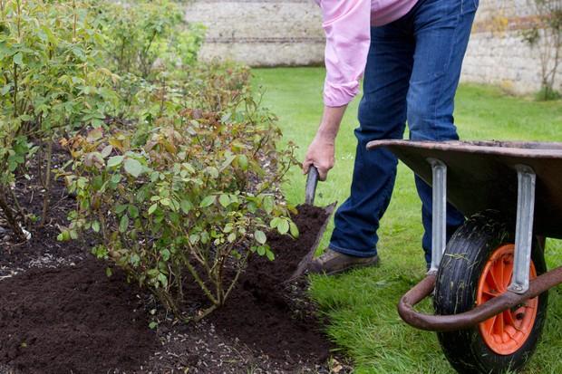 mulching-a-rose-3