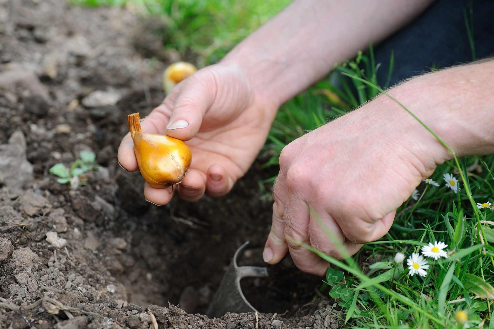 Planting autumn crocus