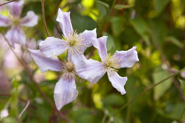 clematis-chatsworth-2