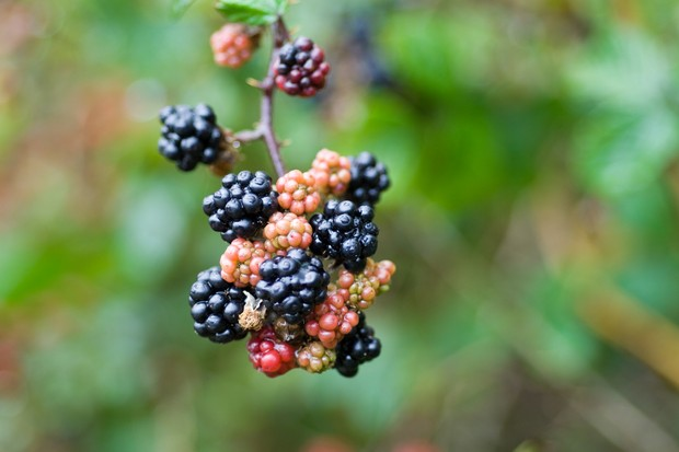 A branch of ripe and ripening blackberries