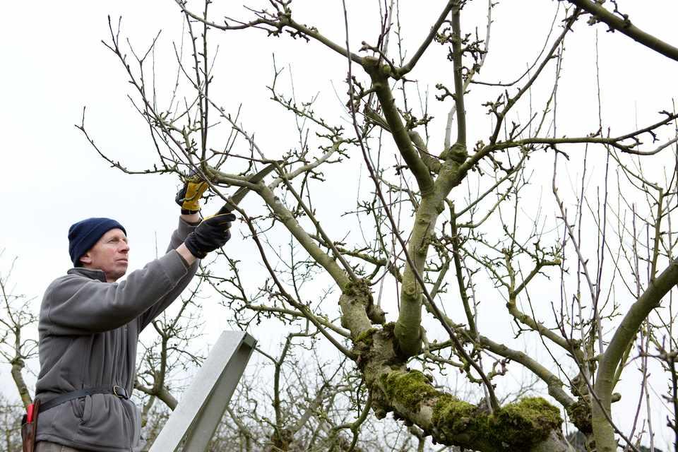 How to prune apple trees in winter