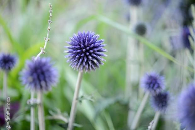 Spiky, blue flowers of globe thistle Echinops rito