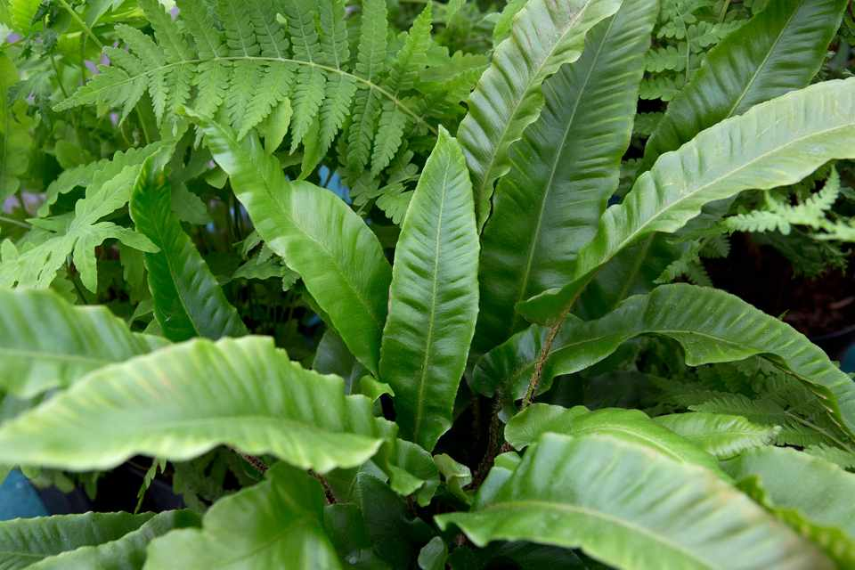 Glossy leaves of the British native fern Asplenium scolopendrium