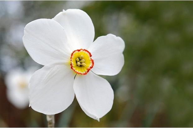 narcissus-poeticus-var-recurvus-2