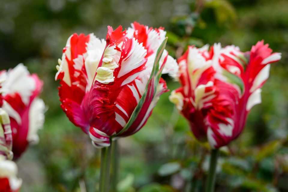 Streaky red and white, frilled petals of Tulip 'Estella Rijnveld'