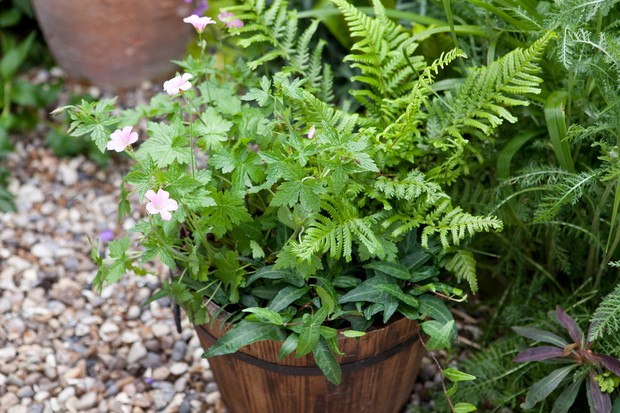 container-for-shade-planted-with-geranium-dryopteris-and-ivy-2