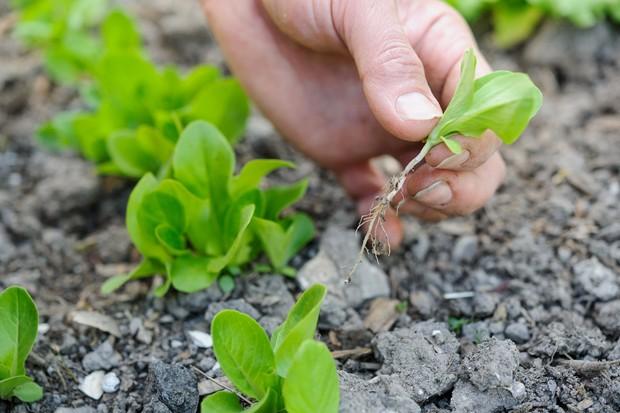 ต้นกล้าผักกาดผอม